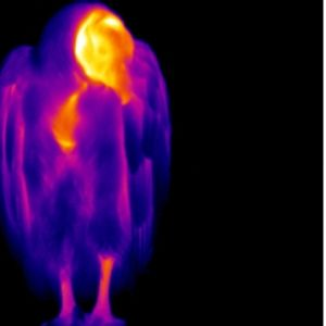 Thermographic Vulture