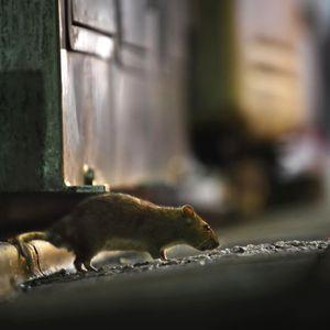 New York City's rat problem