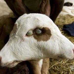 Sick goats mix