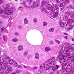 Histology L07