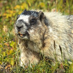 As the marmot grooves