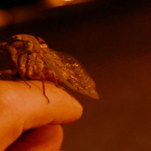 Last flight of the cicada