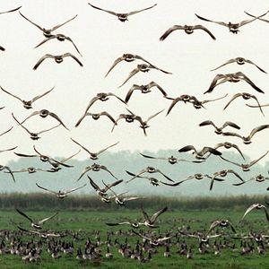 Zug der Vögel - Tape