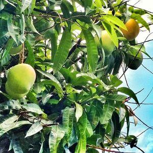 Hot Mangoes in My Yard (115bpm disco house mix)