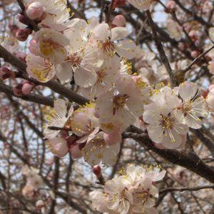 Drago Syarov - apricot's tree memories