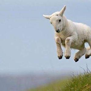 Schaapje - Step That Sheep!