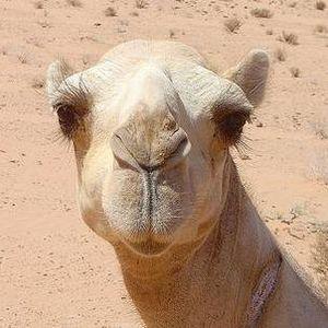 Camel Camel, Lozo?