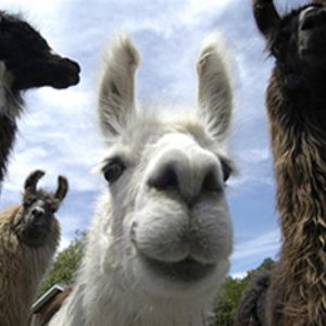 The High Llamas in session mix