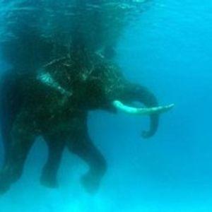 Elephant swinging - Madame Summit