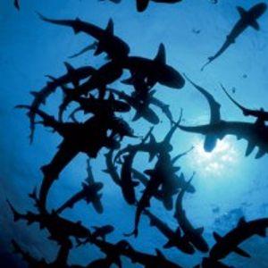 Shark Attack play