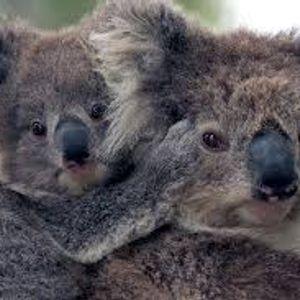 Cuddly Koalas in Danger