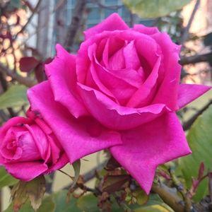 Rosa Rosae Rosae Rosam Rosa Rosa