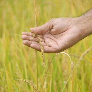 Weedy Rice and Evolution