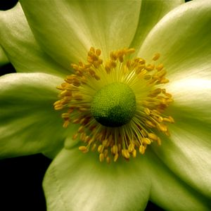 Peace Monix (Spring Blend) :Yum:
