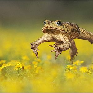Liquid fire frog