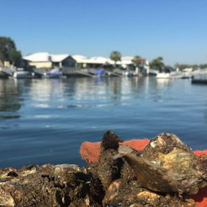 Oyster gardeners replenish reefs and an emergency beer run at Merbein