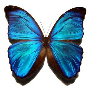 Papillion Mix