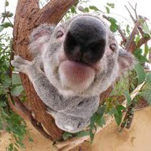Paddy K - Koalabären Limbotanz