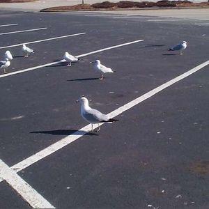 Shawn Mint - Parking Lot Seagulls