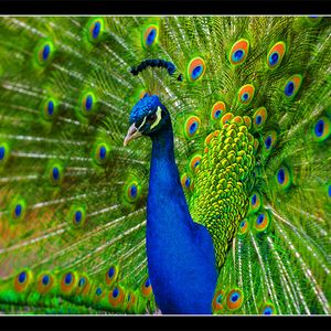 Peacock Strut 2: Rise of the Tail Feather
