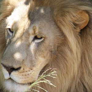 Has Trophy Hunting taken the lion's share?