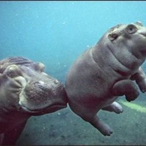Love In Them Hippos