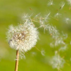 Dandelions @ Windy Fields