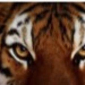 Tigers HL84
