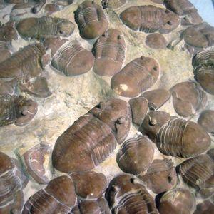 Podcast 114 - Trilobites; Mice of the Paleozoic