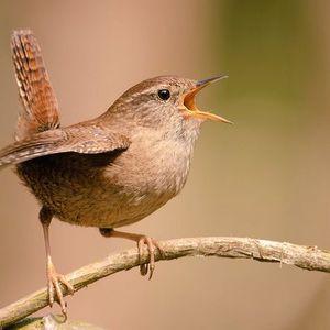 Naturaleza: La diferencia del canto de los chochines en la ciudad y en la naturaleza