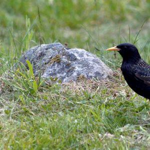 Fåglar på prozac – hur påverkas naturen av läkemedelsrester?