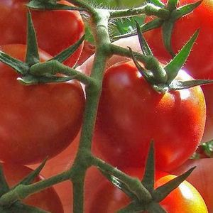 The truth about tomatoes