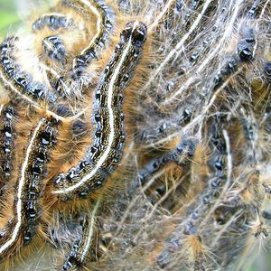 Ep. 116 - Social Caterpillars, Their Host Trees, and the Origins of Evolutionary Science Pt. 1