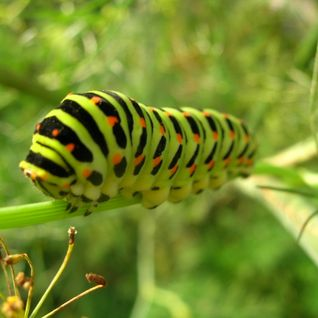 Episode XVIII: The Impenetrable Caterpillar and The Wind.