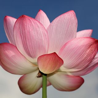 [ TEMPLE 1 ] : Lotus