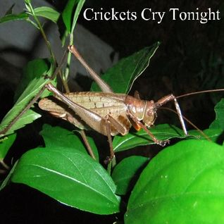 Crickets Cry Tonight