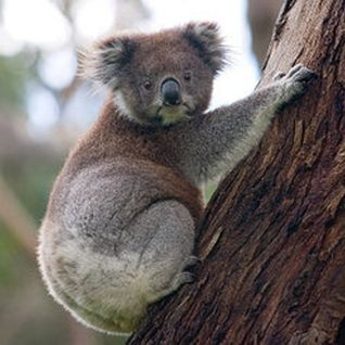 """Why your picture is a koala?"" - august 2011"