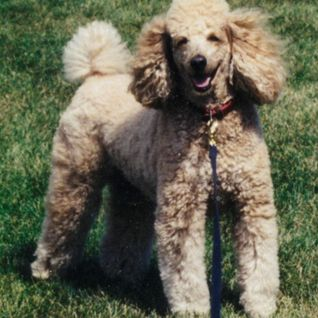 Ginger The Poodle Obituary 4/2/16