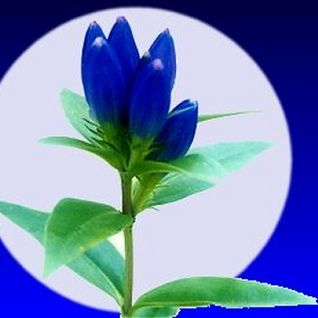"Gentian Blue "" Familiar Traveler"" - Alle Farben"