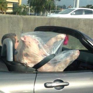 Cochon voyage