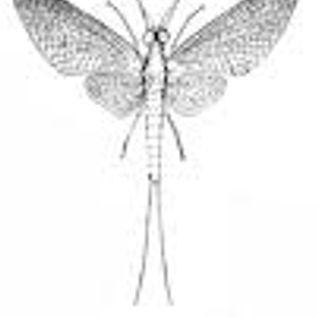 May Flies
