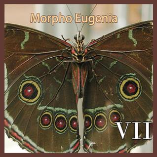 Morpho Eugenia VII