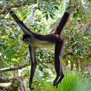 TRAVISWILD's Animal Kingdom Radio 049 - Spider Monkey