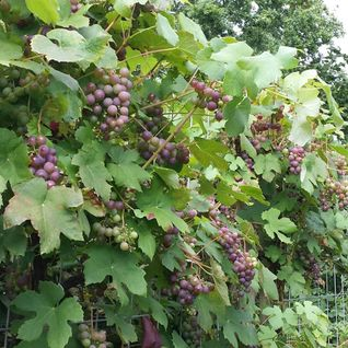 While Grapes Ripen - mixed by DJ Bass 20-09-2013