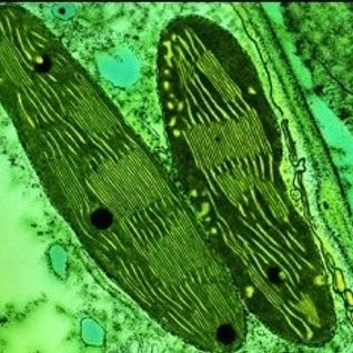 lysosome chloroplaste