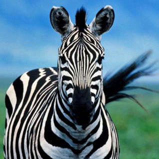 TRAVISWILD's Animal Kingdom Radio 048 - Zebra