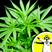 Marijuana: Risk or Remedy?