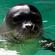 Hawaiian Monk Seal (Active Child - Astronautica - Lomovolokno - Xxxy - Untold - Tourist) image