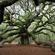 Angel Oak Tree Mixtape image