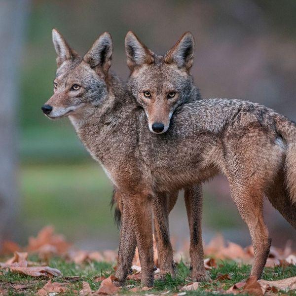 CoyotesDjs